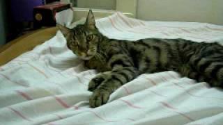 Кот не пускает  на кровать/ Funny cat defending his bed