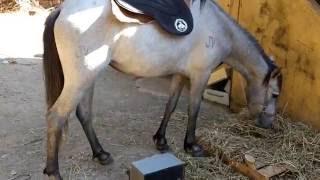Cuidados para selar o cavalo.