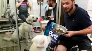 Лабрадор Марта любит корм Брит. Labrador Martha loves dog food Brit.