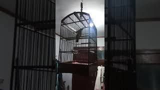 "Gacor owor owor suara khas kutilang cetar membahana punyanya mas sanuri ""KPBKI"""