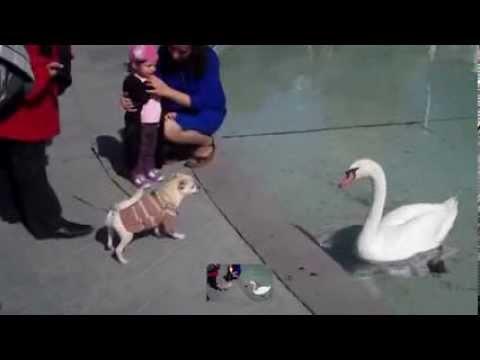 Армения лебедь идет на собаку
