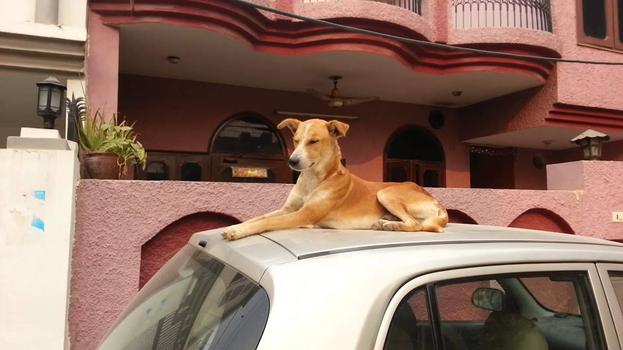 Dog sitting over the roof of a car LIKE A BOSS - Jukin ...