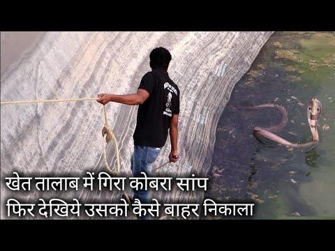 खेत तालाब में गिरा कोबरा सांप, फिर देखिए किस तरह उसको बाहर निकाला | Rescue indian cobra snake