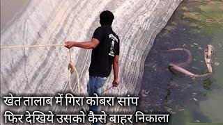 खेत तालाब में गिरा कोबरा सांप, फिर देखिए किस तरह उसको बाहर निकाला   Rescue indian cobra snake