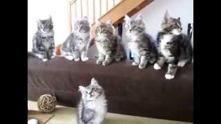 Синхронизированные котята мейн-кун