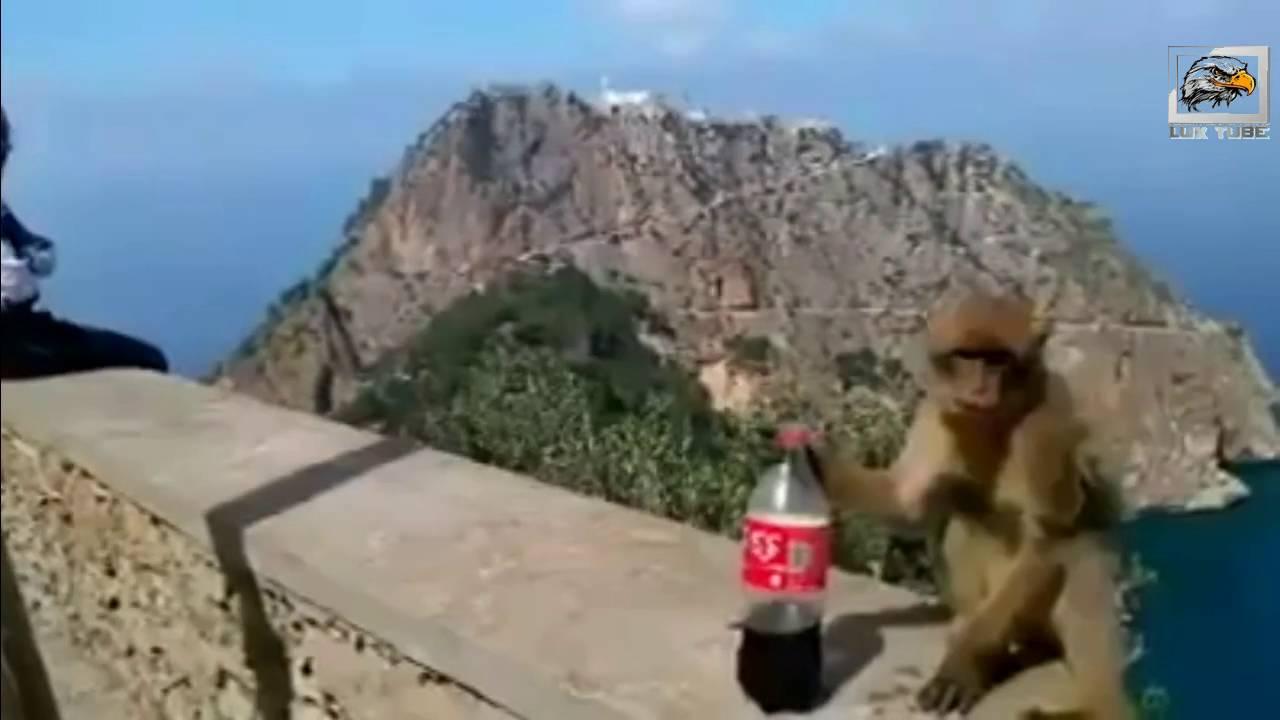 قرد مضحك يشرب الكوكا كولا - بجاية - الجزائر -2016- Monkey funny drinking Coca Cola