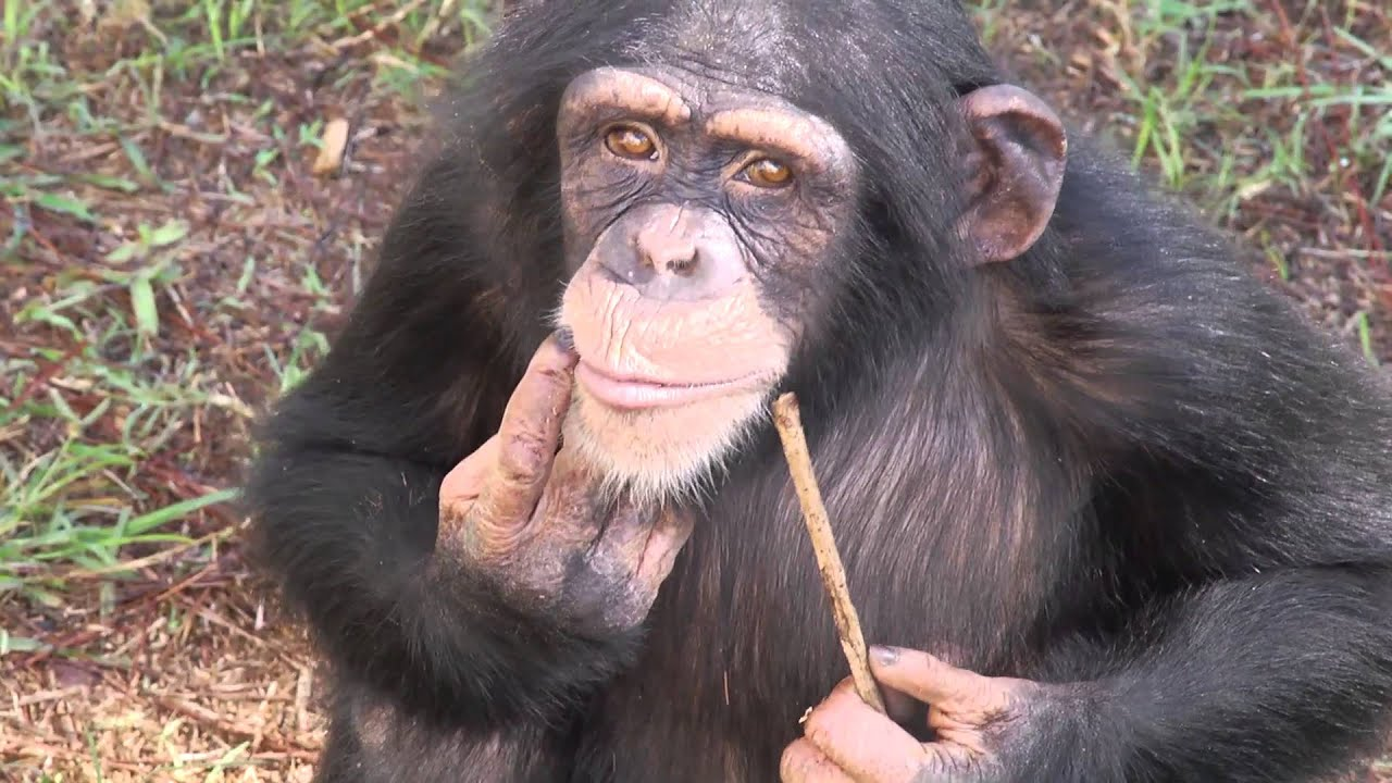 Image result for 110 Chimps Experiencing Nature for the Very First Time!