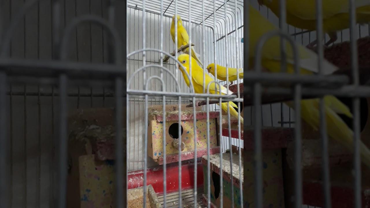 اجمل طيور الحب الهولندي الاصلي Youtube