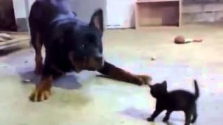 Котенок против собаки