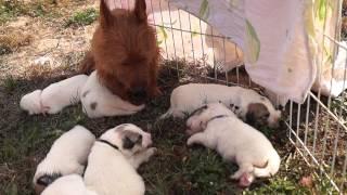 Пиренейская горная собака, щенки, питомник ПОЛИНИ