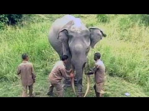 A 72-year-old elephant India is indebted to