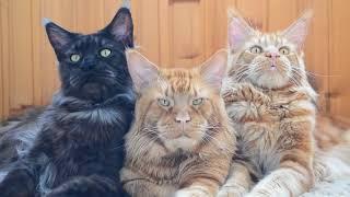 Крутые коты мейн кун! Босс и его телохранители!