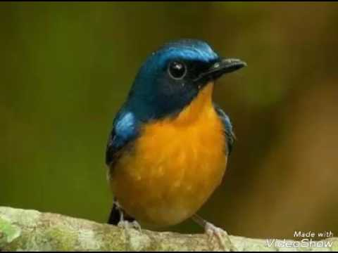 Suara Burung Tledekan Masteran Rapat