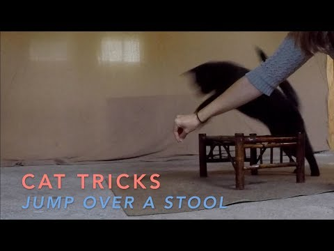 Cat Tricks: Bo Learns to Jump Over a Stool