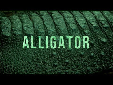 "[FREE] ""Alligator"" 