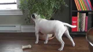 Mini Bull Terrier Trancing ! thumbnail