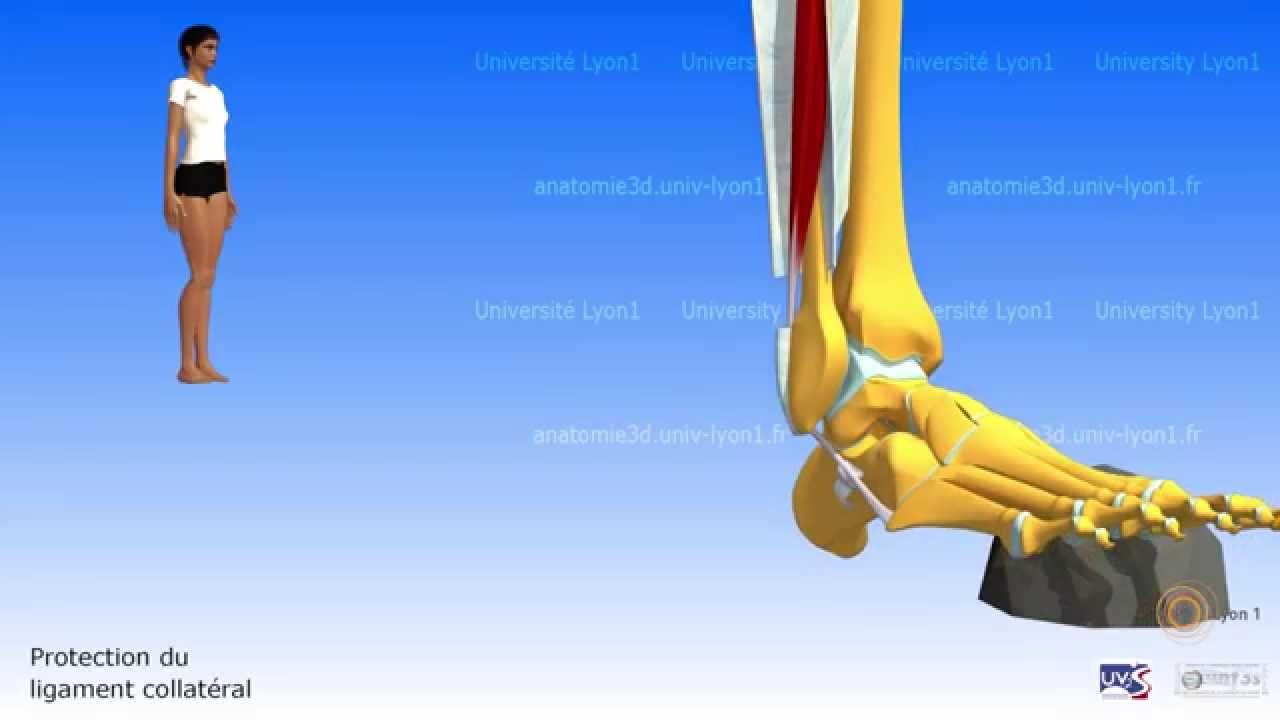 Anatomie Du Pied 3D la jambe. loge latérale. court et long fibulaires - youtube