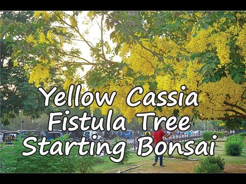 Yello Cassia Fistula Tree Starting Bonsai Part-1  NOT- [seeds link below in description]