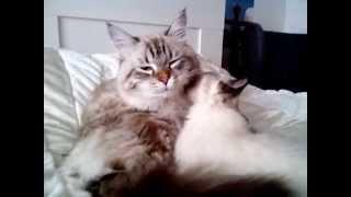 Любовь кошек, невские маскарадные
