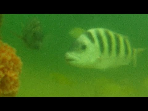 Monster Living Under The Skyway Fishing Pier Underwater Go Pro Video