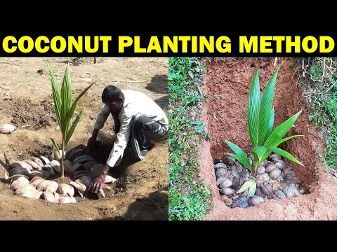 COCONUT PLANTING METHOD | How to Plant Coconut Tree at Home | How to grow coconut tree from Seed