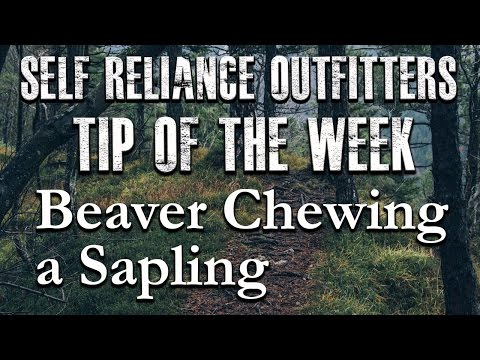 Self Reliance Outfitters - Tip Of The Week - Beaver Chewing A Sapling