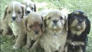 Watch upclose 5 week old cute puppies eat solid good and attack a s...