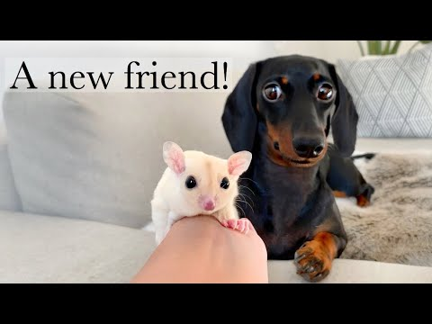 A new friend| Dachshund & 5 Sugar Gliders.