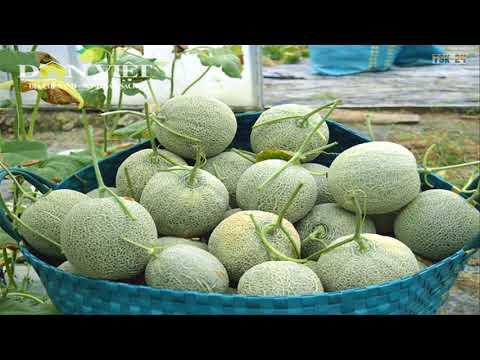 WOW! Amazing Agriculture Technology - Rockmelon