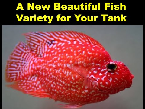 RED TEXAS PARROT FISH: NEW FISH IN INDIA