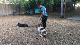 Welsh Springer Spaniel | Dog Training