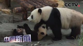 [中国新闻] 上海:大熊猫幼崽与游客隔空互动   CCTV中文国际
