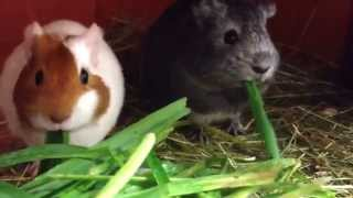 Guinea pigs eating grass