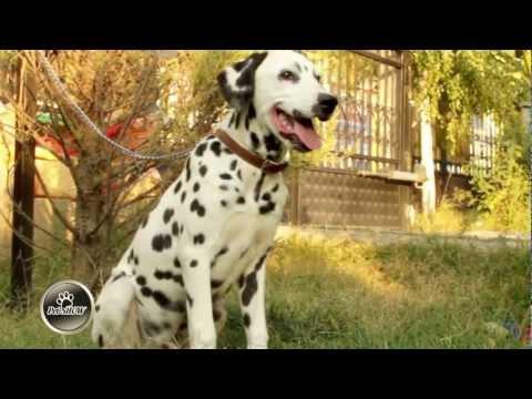Pet Show - Dalmatians