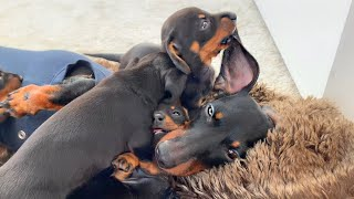 mother-s-life-with-dachshund-puppies