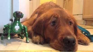 Golden Retriever Puppy Dog Eyes!