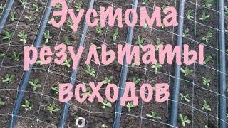 Эустома,лизиантус. Как вырастить эустому из семян.2 обзор семян на 10-й день после посадки.