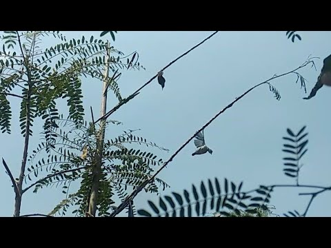 Pikat Burung Di Kebon Sawo Pakai Mp3 - Part 2