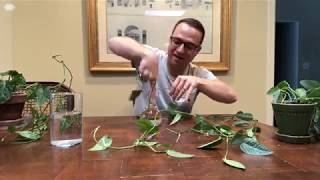 How to Make Pothos More Bushy and Full (or any other plant!)