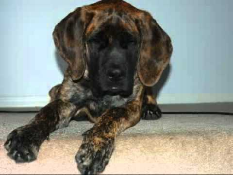 english mastiff and great dane puppies youtube