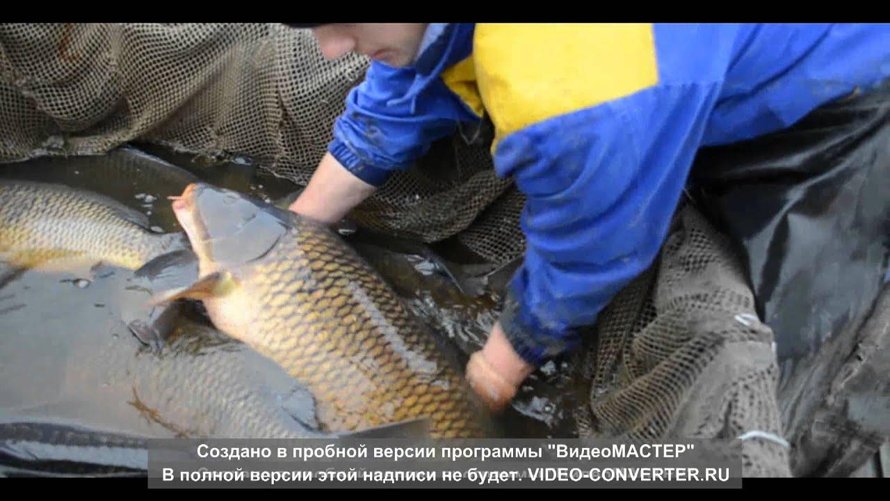 Карп. Облов производителей на Карагандинском рыбопитомнике. 2013 год