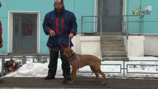 Работа инструктора дрессировщика, обучение хозяйки щенка риджбека дрессировке, команда стоять