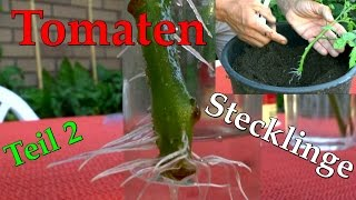 Tomaten vermehren, Stecklinge von Tomaten, bewurzeln im Wasser ganz schnell und einfach 2