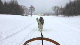 "husky dog ""GINN"" sledding."