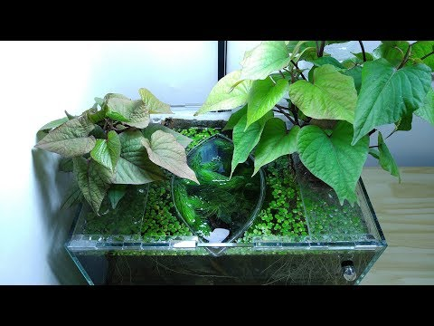 Ep.2 Sweet Potato Betta Tank (New Wild Betta) - No filter, No CO2, NO ferts 4.5 Gallon Nano Tank