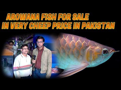Arowana Fish for Sale in very cheep price in Pakistan (jamshed Asmi Informative Channel)