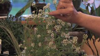 Flower Gardens : How to Grow Sweet Alyssum (Lobularia Maritima)