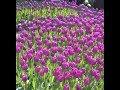 Co zrobić z tulipanami po przekwitnięciu