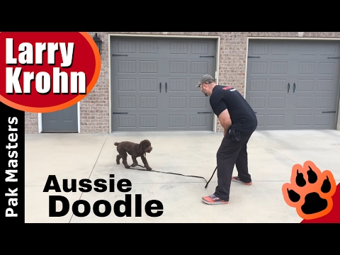 First E Collar / Remote Collar Conditioning Session with Aussie Doodle puppy