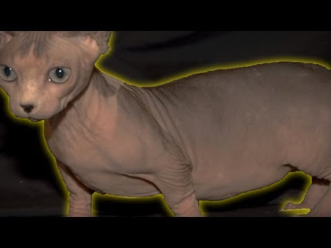 5 Weirdest Cat Breeds You Will Ever See!